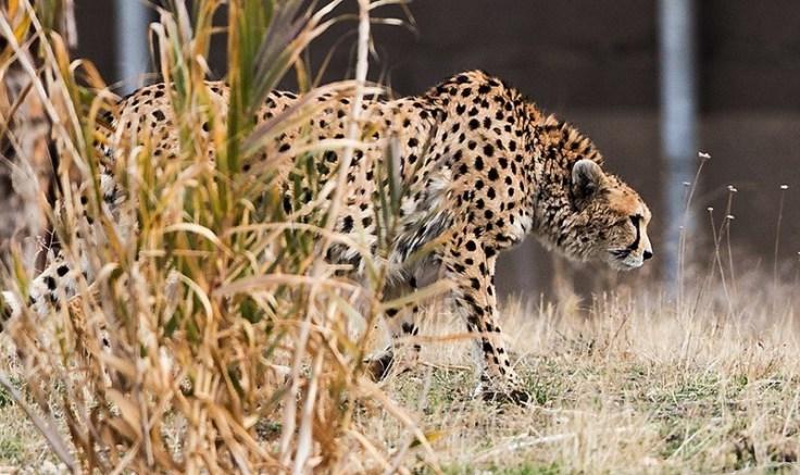 Kooshki_(Iranian_Cheetah)_03